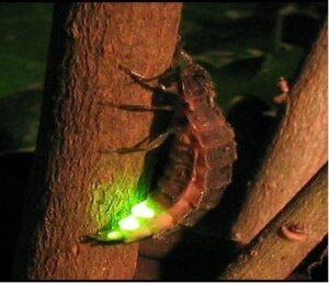 ¿ Qué animales brillan en la oscuridad?