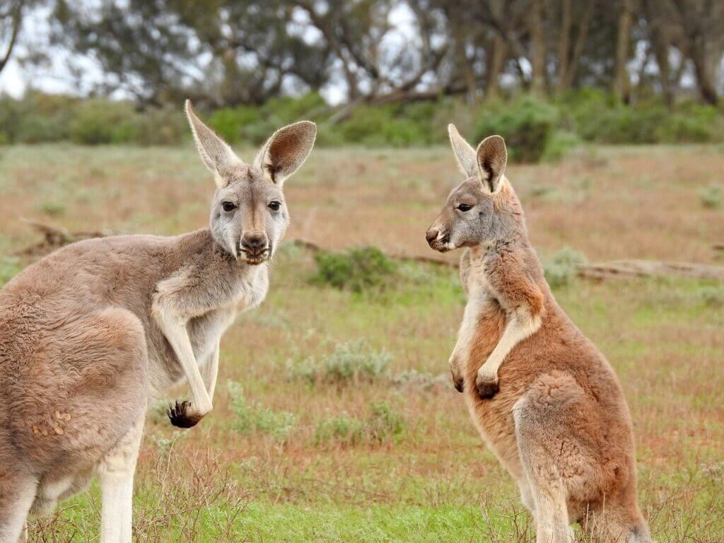 Qué animales hay en Australia