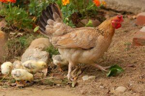 Qué animales atacan a las gallinas
