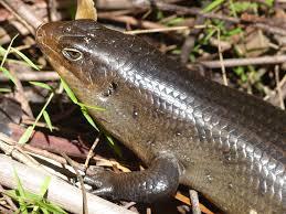 Qué animales son anfibios