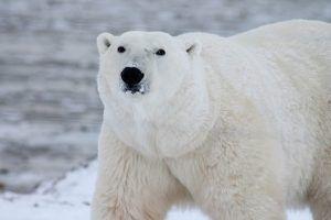 Qué animales hay en la tundra