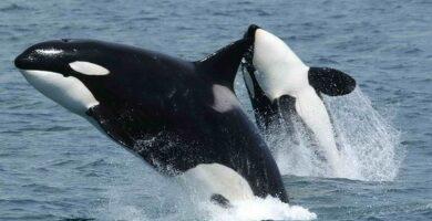 Qué animales acuaticos respiran por los pulmones