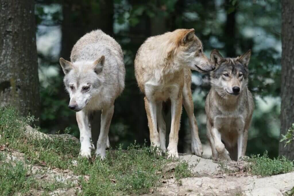 que animales comen los lobos