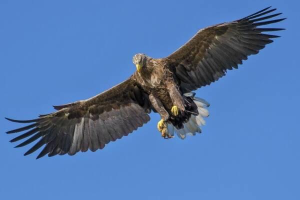 Qué animales comen águilas