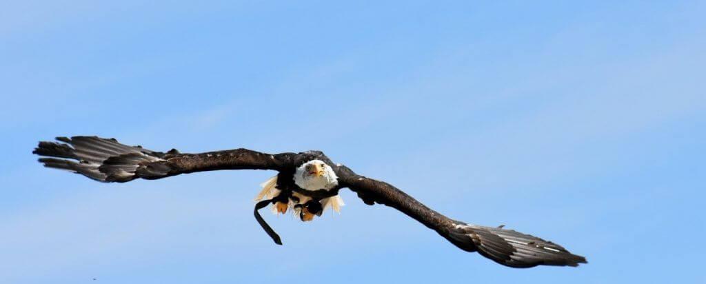 Las águilas son las aves reconocidas por sus capacidades como excelentes cazadores y como depredadores de gran cantidad de animales pequeños, grandes y medianos. Algunas especies de águilas son capaces de visualizar los movimientos de su presa a una distancia de más de 3 kilómetros.¿Qué animales comen águilas?