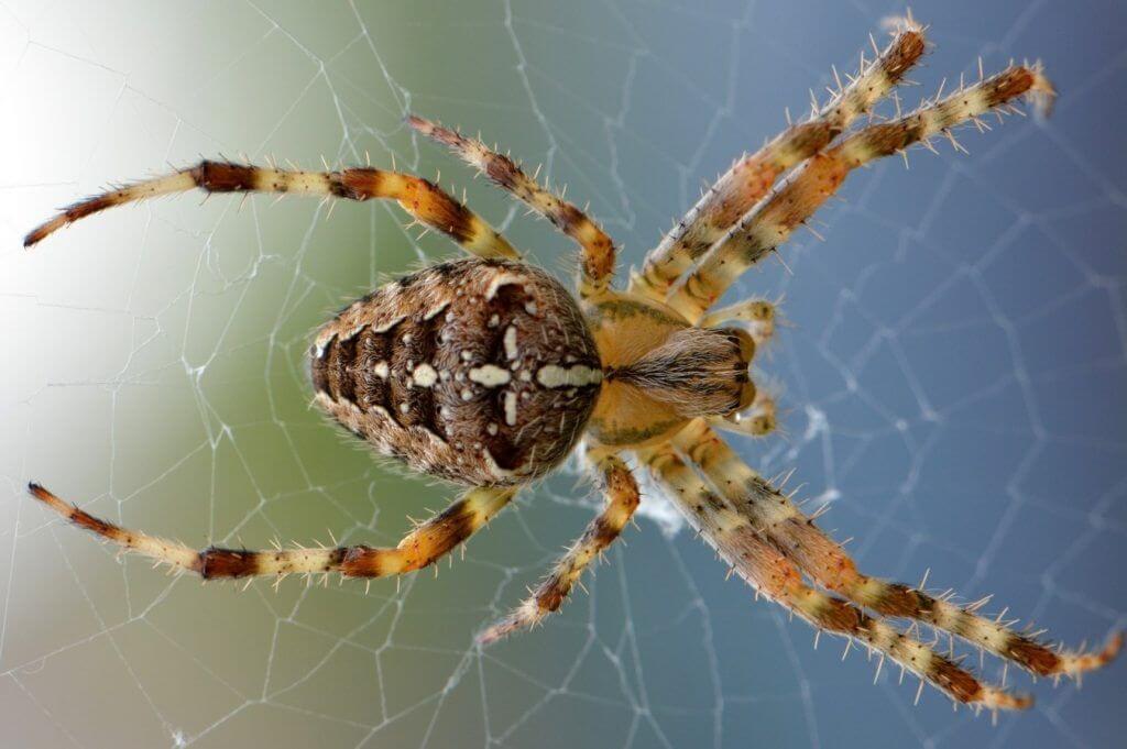 Las arañas pertenecen al grupo de los insectos. Debido a su estructura son artrópodos, esto quiere decir que su cuerpo está dividido en dos partes completamente iguales, que poseen un exoesqueleto que los protege y que sus patas son articuladas. Hay gran variedad de arañas, desde las pequeñas que podemos encontrar en una casa, hasta la temida y gran viuda negra procedente del Amazonas.¿Qué Animales Comen Arañas?