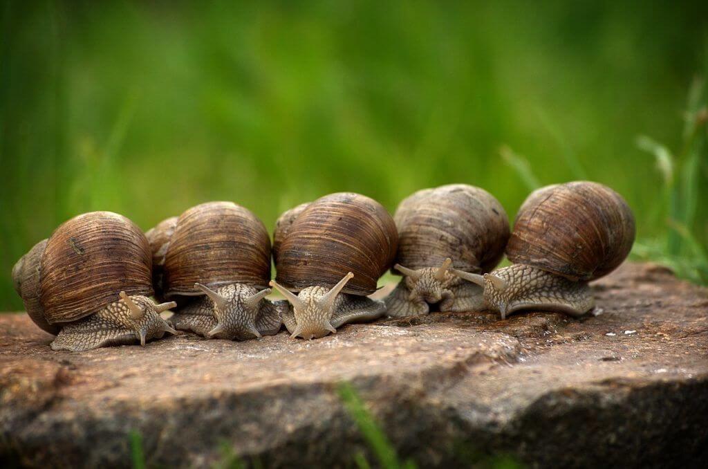 que animales comen caracoles