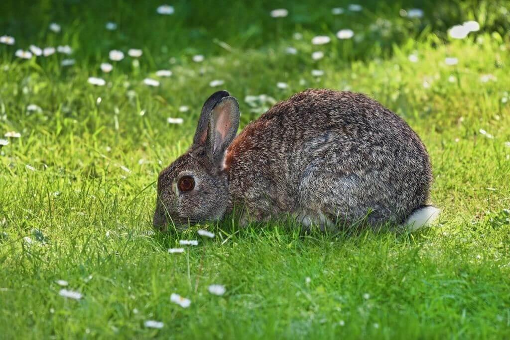 que animales comen conejo