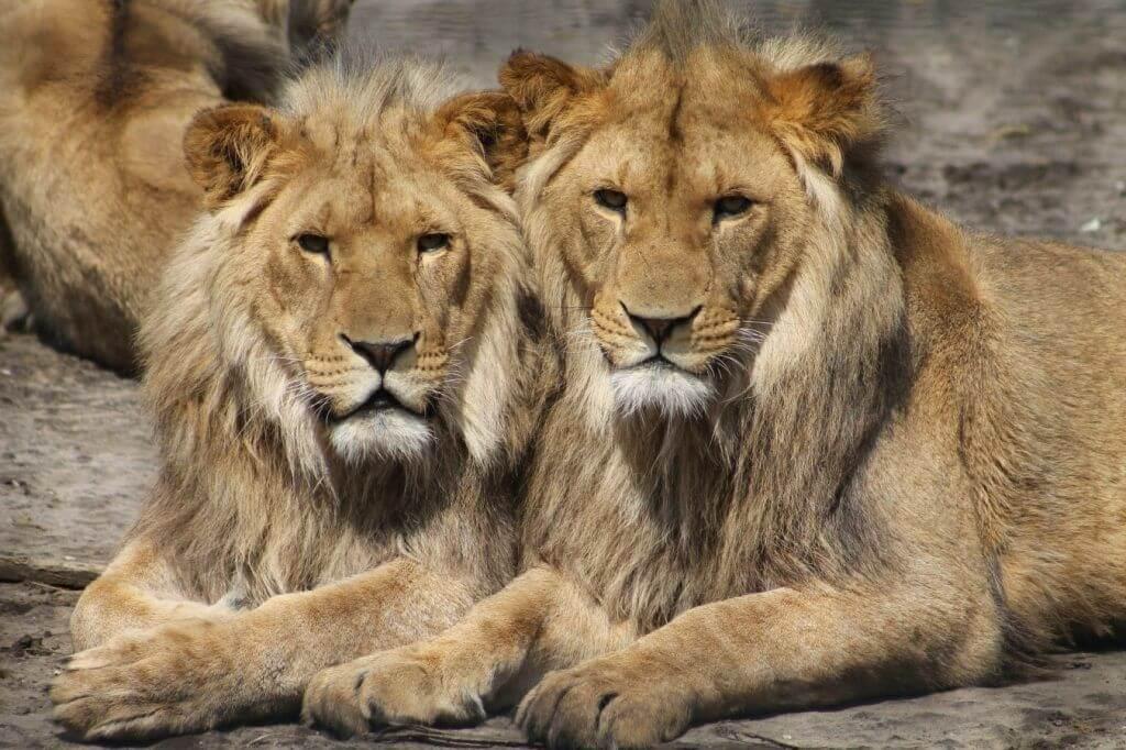 ¿Qué animales come el León?
