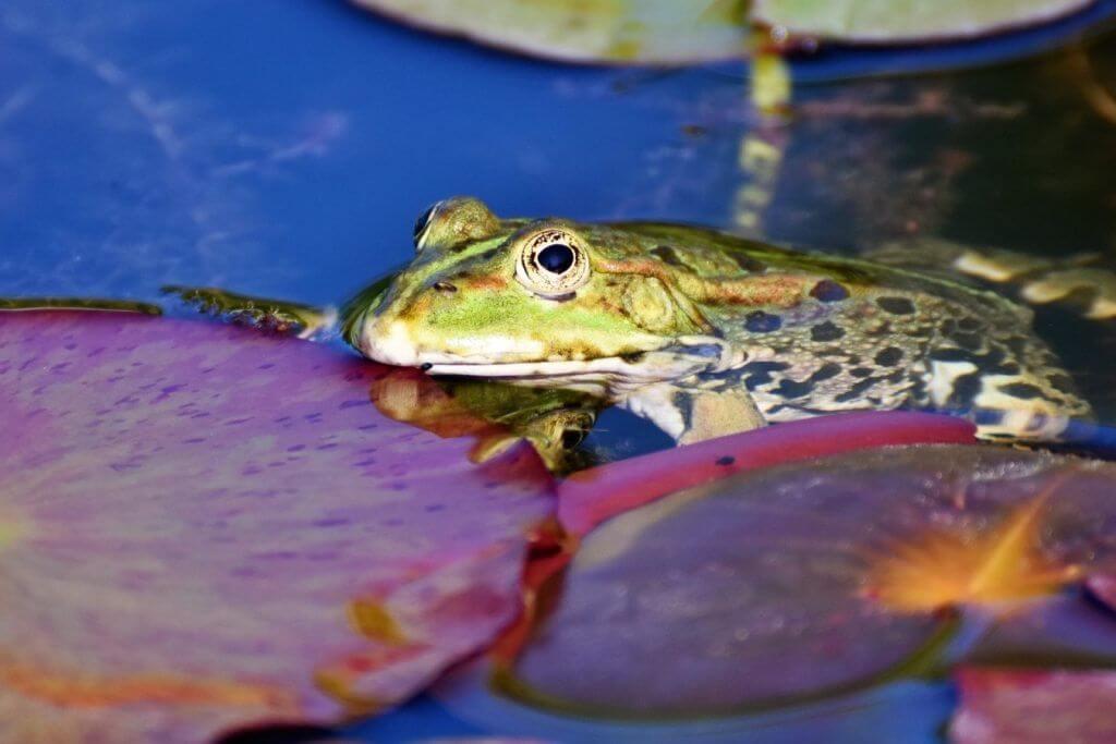 que animales comen las ranas