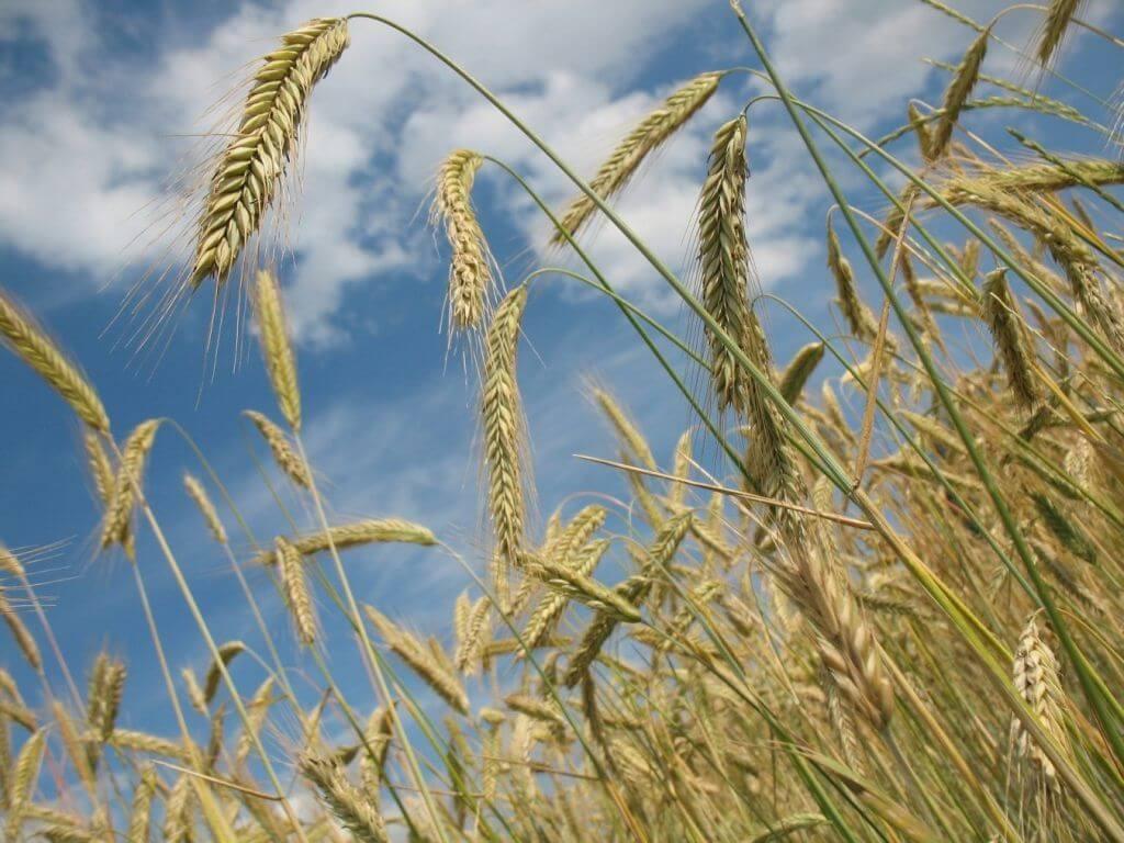 animales comen trigo