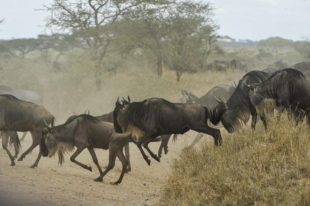 que animales forman una manada