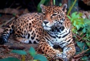 que animales estan en peligro de extinción en mexico