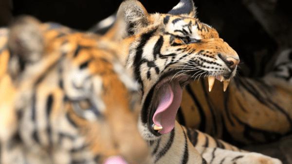 Animales bostezando