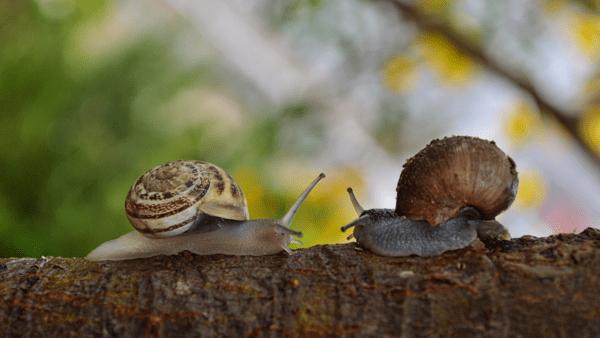 los caracoles se comen entre ellos