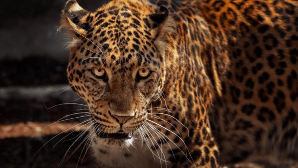 Jaguar precolombiano
