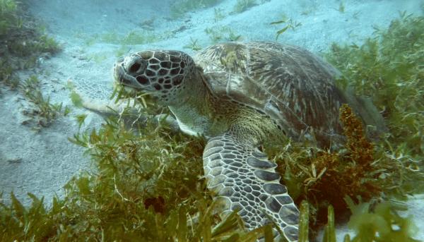 que animales acuaticos son herbivoros