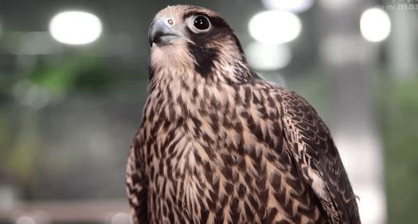 que animales comen halcones