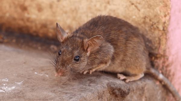 que animales comen ratones y ratas